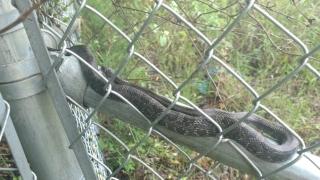 A friendly, helpful Rat Snake