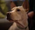 Della– A Carolina Dog