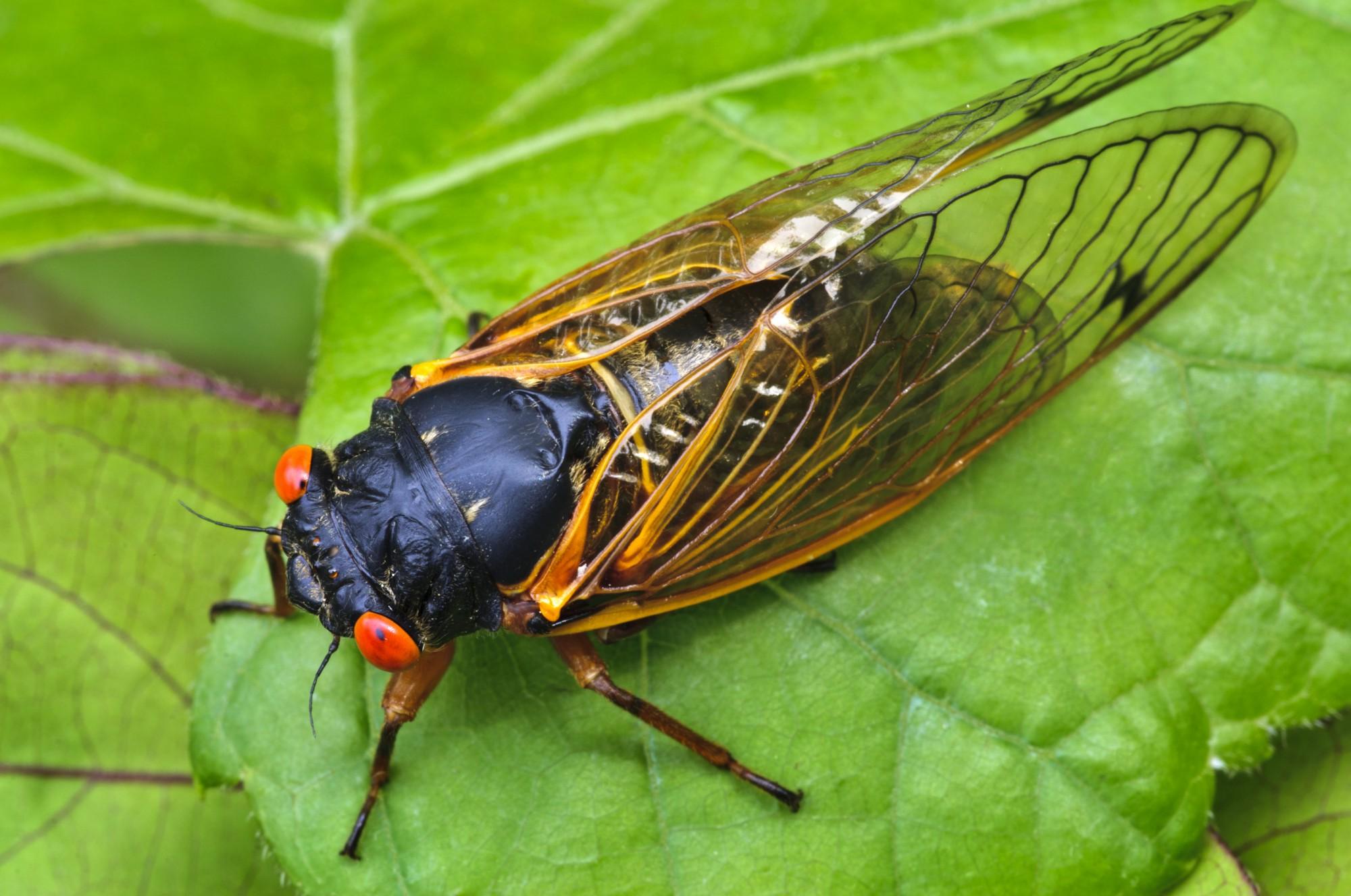 Cicada sex determining